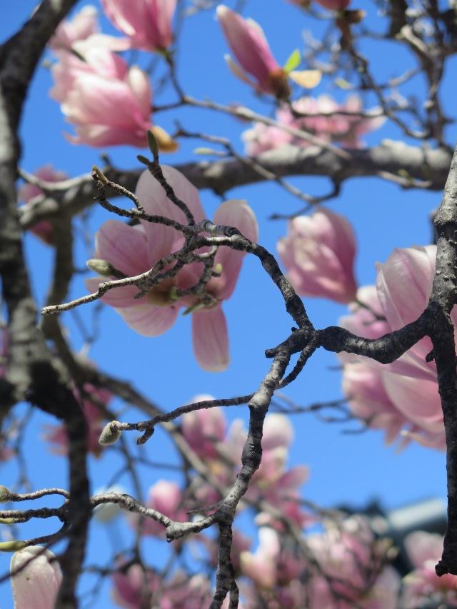 The start of the Cherry Blossom Festival